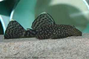 ماهی لجن خوار - Ancistrus