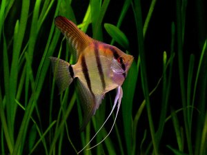 ماهی آکواریومی آنجل - Angel