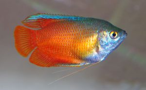 ماهی ـک.اریومی گورامی -  Gourami