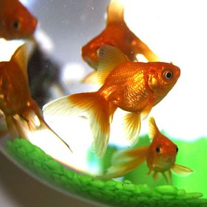 گلد فیش - Goldfish